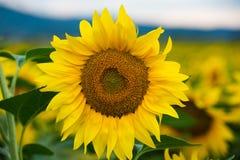 Ein Feld von Sonnenblumen bei Sonnenuntergang Stockfotos