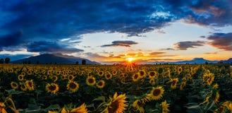 Ein Feld von Sonnenblumen bei Sonnenuntergang Lizenzfreies Stockbild