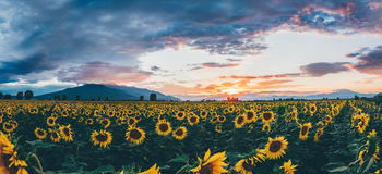 Ein Feld von Sonnenblumen bei Sonnenuntergang Lizenzfreies Stockfoto