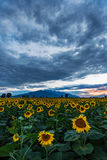 Ein Feld von Sonnenblumen bei Sonnenuntergang Stockbilder