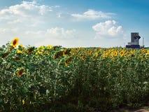 Ein Feld von Sonnenblumen an einem hellen sonnigen Sommertag auf einem Hintergrund des bewölkten Himmels Lizenzfreies Stockbild