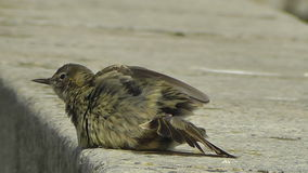 Ein Felsen Pippit-Vogel Anthus petrosus stock video footage