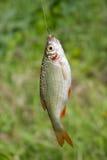 Ein Fisch Lizenzfreie Stockfotos