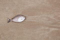 Ein Fisch wird auf dem Strand gestorben lizenzfreies stockbild