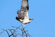 Ein Fischadler mit dem geschädigten Bein entfernen sich vom Baum Stockbilder