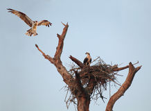 Ein Fischadler schwebt über es ist Nest mit Kameraden im früher Morgen-Licht Stockfotografie
