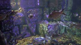 Ein Fischschwarm der gleichen Spezies hält zusammen am Unterwasserfelsen unter den Strahlen des Lichtes stock video