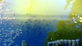 Ein Fischschwarm, der um in den Kreisen geht stock video footage