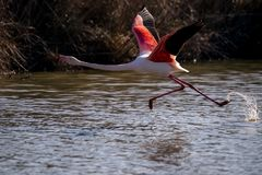 Ein Flamingo im Flug Lizenzfreie Stockbilder
