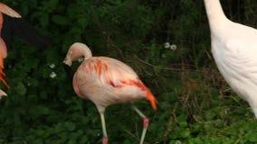 Ein Flamingo, Phoenicopterus-chilensis, gehend in den See unter den Bäumen stock footage
