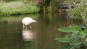 Ein Flamingo, Phoenicopterus-roseus, Nahrung suchend, drehen sich auf sich im Wasser stock footage