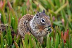 Ein flaumiges Tier der Nahaufnahme mit dem mannigfaltigen Pelz, der Spermophilusbeecheyi genannt wird, isst einen saftigen Büsche stockfotografie