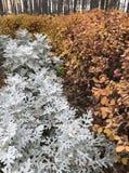 Ein Flecken des staubigen Müllers mit goldenen Büschen Lizenzfreies Stockbild