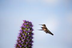 Ein Fliegen und ein Fütterungskolibri Stockfoto