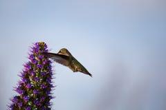 Ein Fliegen und ein Fütterungskolibri Stockfotografie