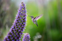 Ein Fliegen und ein Fütterungskolibri Lizenzfreie Stockfotos