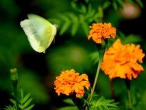 Ein Fliegenschmetterlingsversuch, zum sich auf einer schönen gelben Blume in meinem Garten hinzusetzen Lizenzfreies Stockfoto