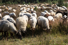 Ein flok des Drenthes Heath Sheep, lassend weiden Lizenzfreies Stockfoto