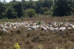 Ein flok des Drenthes Heath Sheep, lassend weiden Lizenzfreie Stockbilder