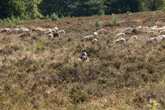 Ein flok des Drenthes Heath Sheep, lassend weiden Stockbild