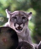 Ein Florida-Panther stockfotografie