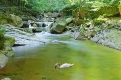 Ein Fluss fließt einen Wald mit Schwan auf Wasser durch Stockbild