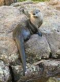Ein Fluss-Otter trocknet auf einem Felsen aus Lizenzfreies Stockfoto