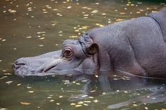 Ein Flusspferd Stockbilder