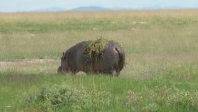 Ein Flusspferd außerhalb des Wassers stock video footage