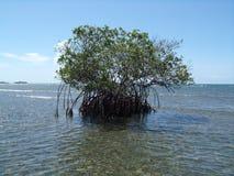 Ein Foto einer einsamen Mangrove Stockfotografie