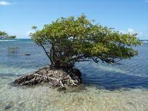 Ein Foto einer kleinen Mangrove Stockbild