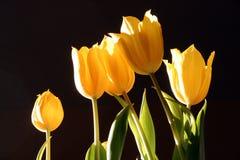 Ein Foto eines Bündels gelber Tulpen gegen einen schwarzen Hintergrund Stockfotografie