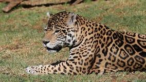 Ein Foto eines männlichen Jaguars