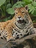 Ein Foto eines männlichen Jaguars Lizenzfreies Stockfoto