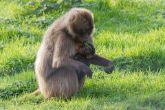 Ein Foto eines schönen Gelada-Pavians mit ihrem Baby Lizenzfreie Stockfotos