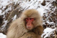 Ein Foto eines Schnee-Affen lizenzfreies stockbild