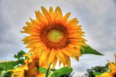 Ein Foto im Freien einer schönen einzelnen Sonnenblume Lizenzfreie Stockbilder