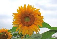 Ein Foto im Freien einer schönen einzelnen Sonnenblume Lizenzfreie Stockfotografie