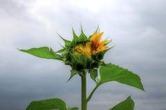Ein Foto im Freien einer schönen einzelnen Sonnenblume Stockfoto