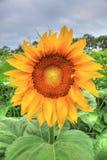 Ein Foto im Freien einer schönen einzelnen Sonnenblume Stockbilder