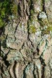 Ein Fragment der alten Eichenbarke mit Sprüngen und Flechte lizenzfreie stockfotografie