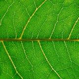 Ein Fragment eines grünen Blattes der Haselnuss mit Adern, Makrophotographie Lizenzfreies Stockfoto