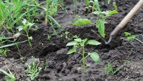 Ein Frauenlandwirt säubert den Garten, säubert Unkräuter um junge Grünpflanzen, die Person, die Unkräuter mit Hacke hackt Arbeite stock video