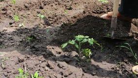 Ein Frauenlandwirt säubert den Garten, säubert Unkräuter um junge Grünpflanzen, die Person, die Unkräuter mit Hacke hackt Arbeite stock video footage