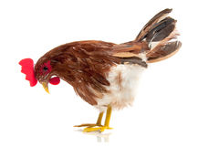 Ein free-range Huhn Lizenzfreies Stockbild