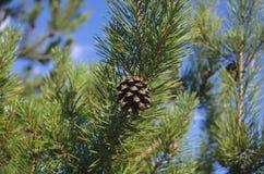 Ein frischer Kiefernkegel auf einem Kiefernkegelbaum Stockfotos