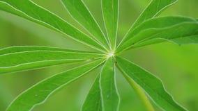 Ein frisches grünes mit Blumenblatt schwingt im Wind Nahaufnahme stock video