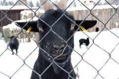 Schwarze Ziege Lizenzfreies Stockfoto