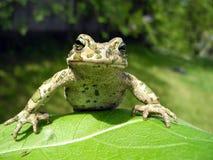 Ein Frosch als Professor Stockbild