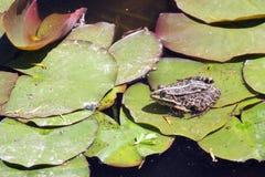 Ein Frosch auf Blatt der Seerose Stockfoto